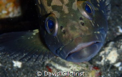 A reluctant model. This Juvenile Dusky Grouper was hiding... by David Gilchrist